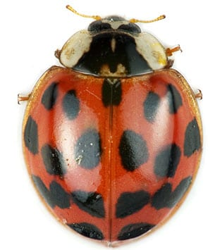 asian lady beetles collinsville il