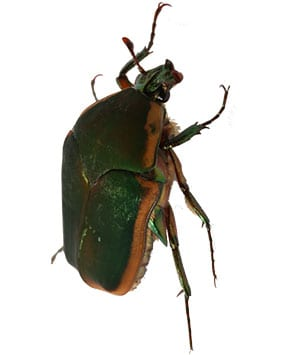 green june beetle fairview heights il