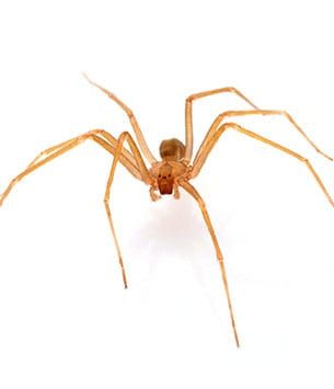 brown recluse spiders troy illinois