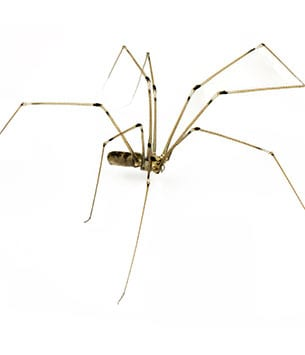 daddy long legs collinsville il