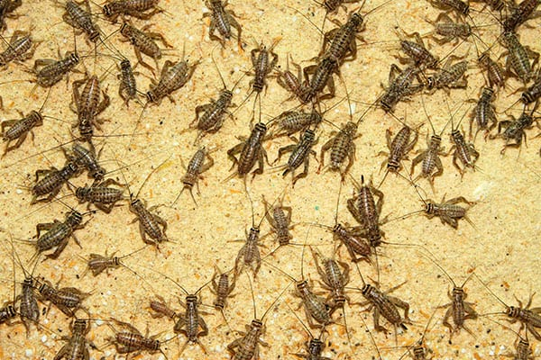 cricket removal in bunker hill illinois