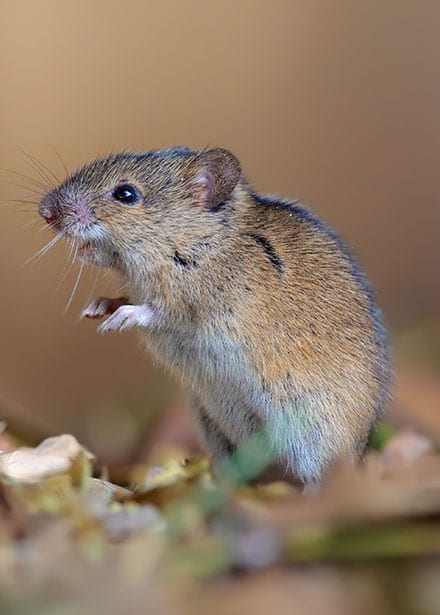 professional rodent control centreville il
