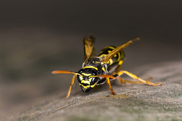 wasp removal dow illinois