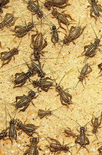 crickets removal service in kane il