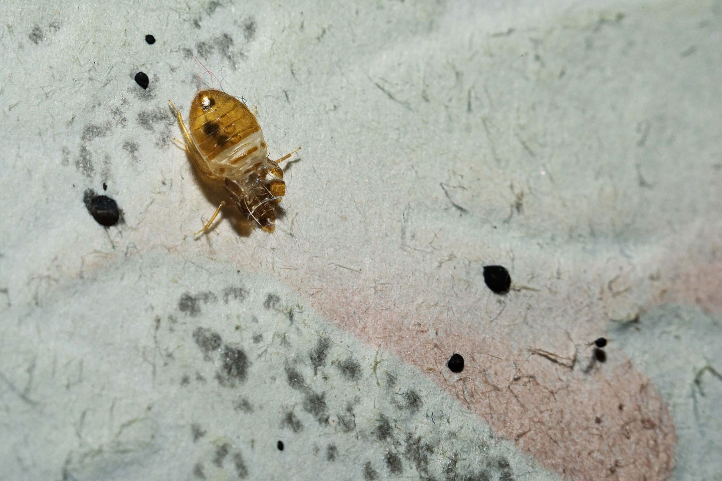 bed bugs wood river il