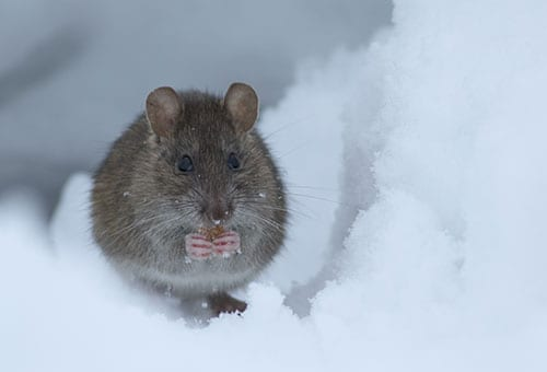 mice in winter weather in benld illinois