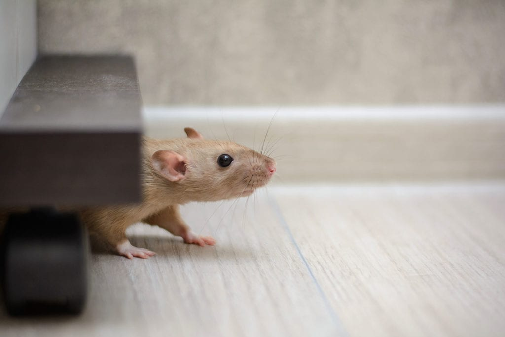why rodents are invading your home in centreville illinois
