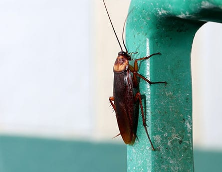 FAQs about cockroaches in carrolton, illinois