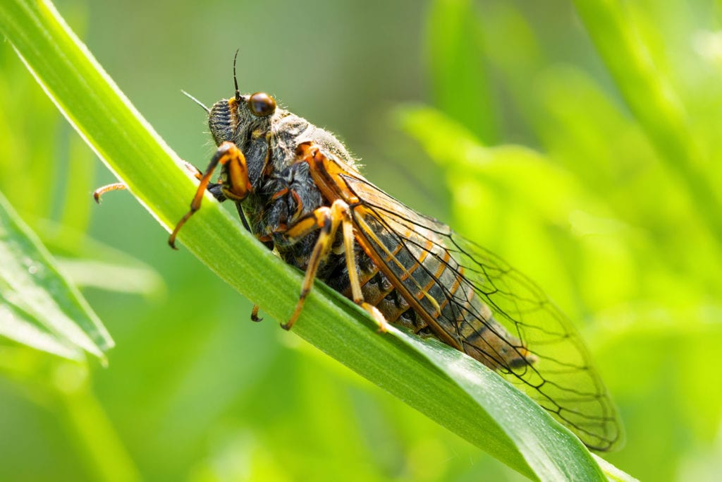 cicadas frequently asked questions for homeowners in roxana illinois