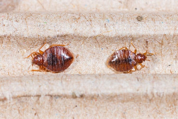 bed bugs control in greenfield il