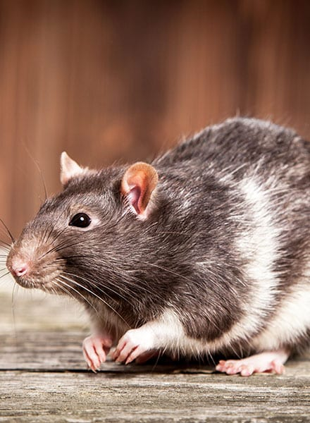 rodent infestation greenville il