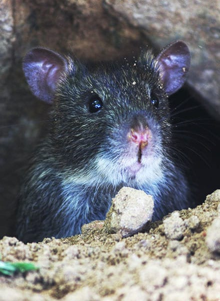 rodent control holiday shores il