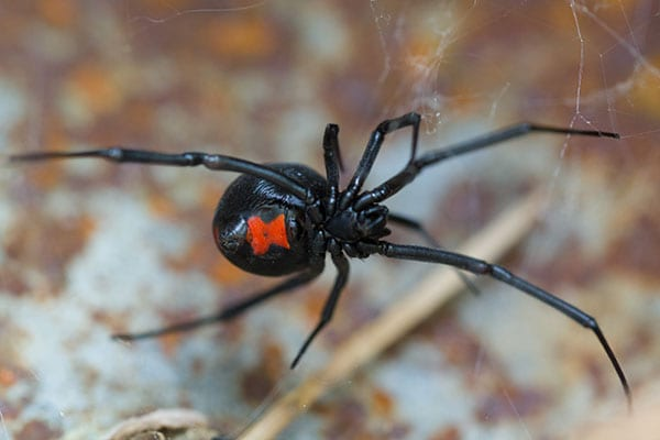 black widow removal company in kane illinois