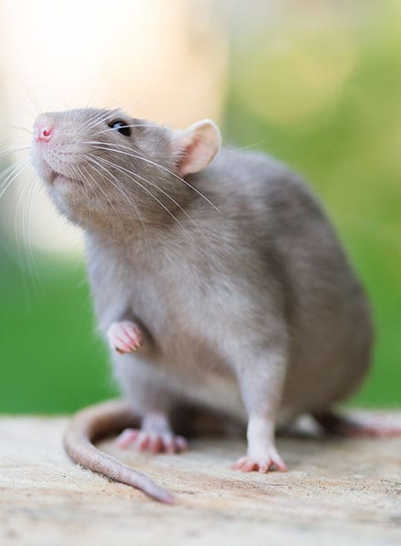 rodent control companies kane il