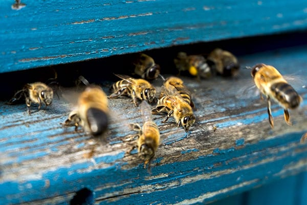 honeybee removal company in maryville il