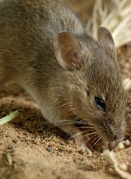 rodent pest control maryville il
