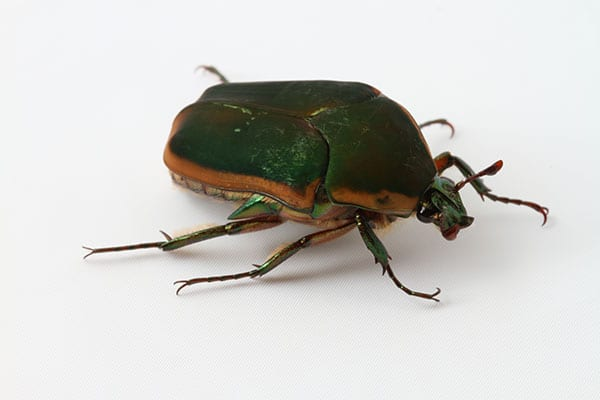 beetles pest control in meadowbrook il