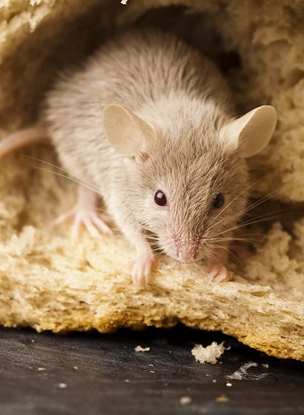 rodent removal shipman il