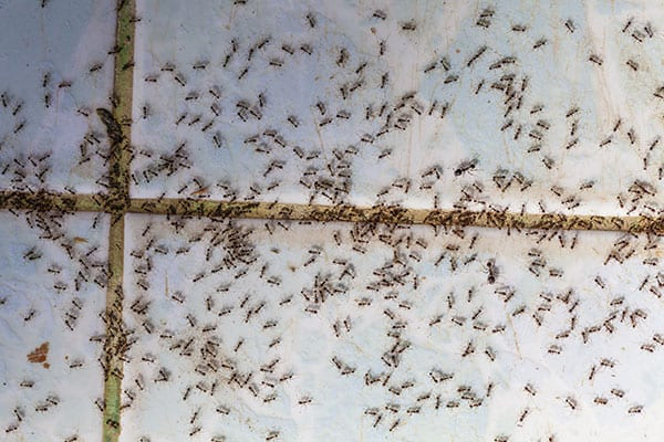 ants removal service in st. jacob illinois