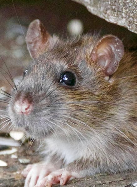 rodent control wood river illinois